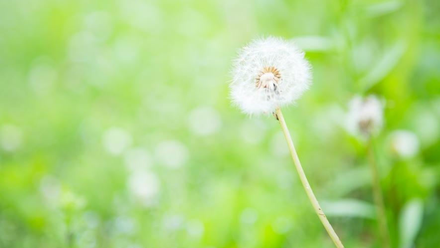 静かな風を感じ、ゆらゆらと揺れる綿毛
