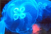 下田海中水族館内のクラリウムのクラゲ。車15分。