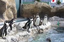 海響館のペンギンたち