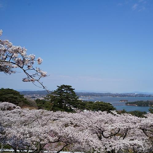 松島 西行戻しの松-桜
