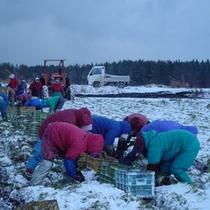雪人参収穫