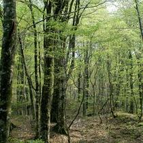 新緑ブナの自然林