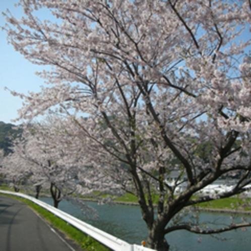 ■ソメイヨシノと青野川3