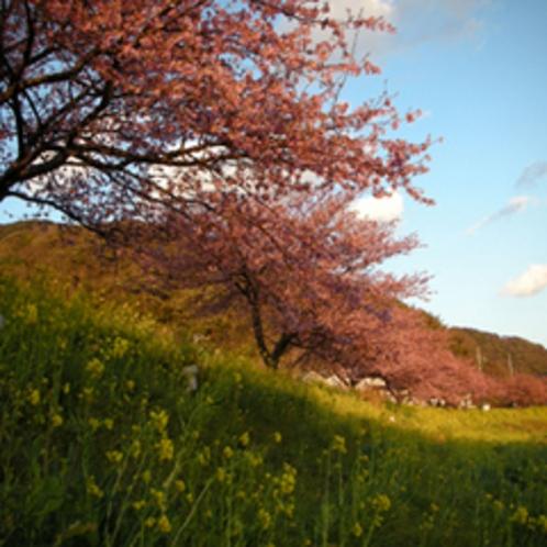 ■菜の花とみなみの桜