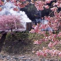■湯煙とみなみ桜
