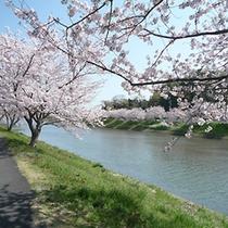 ■ソメイヨシノと青野川2