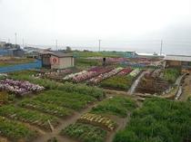白間津お花畑250227-3