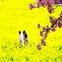 南伊豆 日野の菜の花畑