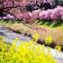 青野川沿いの桜