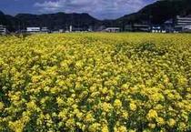 2月、3月頃の菜の花畑