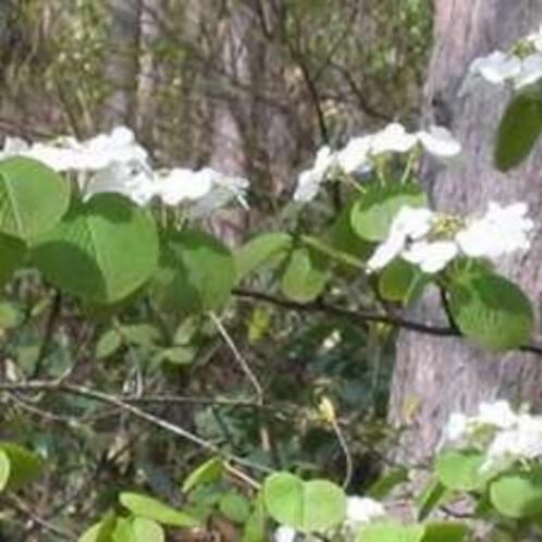 オオカメの木の白い花