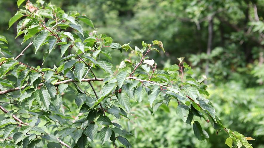 山桜(「山桜の間」のお部屋から望む山桜の木)