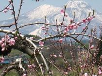 桃の花と妙高山