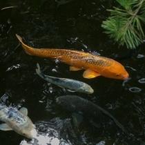 悠然と泳ぐ心字池の鯉
