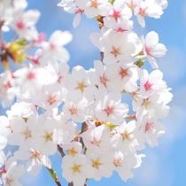 1,700本の桜並木など当館近くには桜スポット多数ございます。