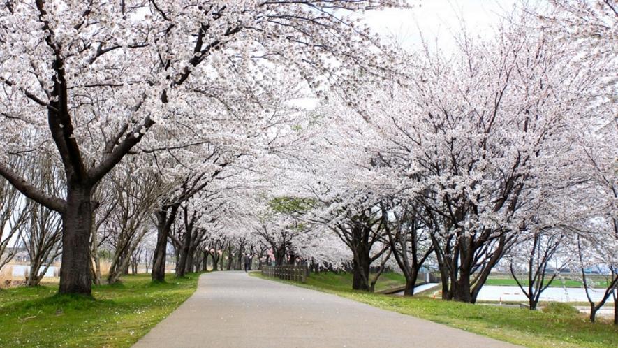 木場潟公園の桜並木~園路沿いに続く桜並木は絶景です。