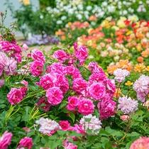 春と秋には「大バラ祭り」を開催