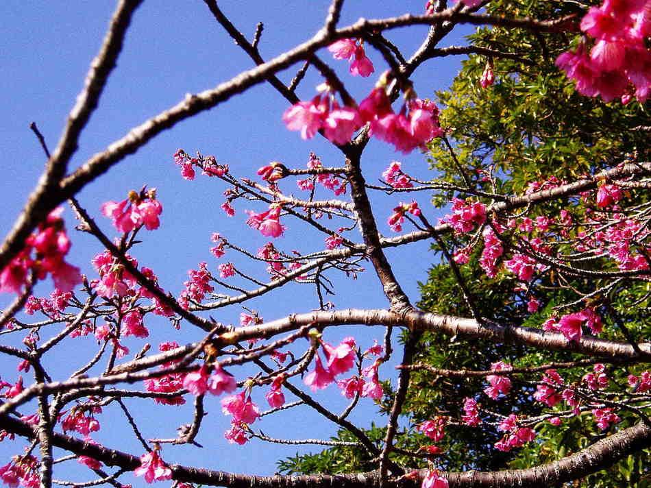 緋寒桜(ヒカンザクラ)
