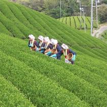 高瀬町・茶畑