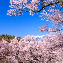 **【高遠城公園】古くから「天下第一の桜」と称えられ、さくら名所100選にも選ばれています。