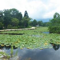 *【周辺】いもり池の周辺は湿生植物と白樺の林に囲まれています。