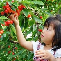 ≪果物狩り≫さくらんぼ