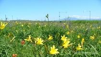 *[小清水原生花園]当館より車で約30分。エゾキスゲの例年見頃は6月中旬~7月中旬です