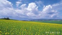 *[風景/夏]キラカシ畑。収穫が終わった畑には鮮やかな黄色の花が咲き見る人の目を楽しませてくれます