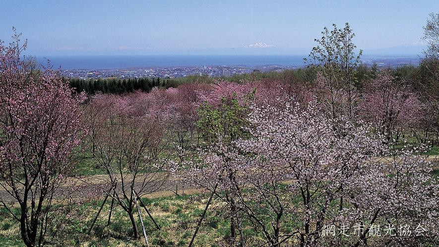 *[天群山・桜公園]当館より車で約10分。オホーツク海と桜のコラボレーション。例年見頃は5月中旬