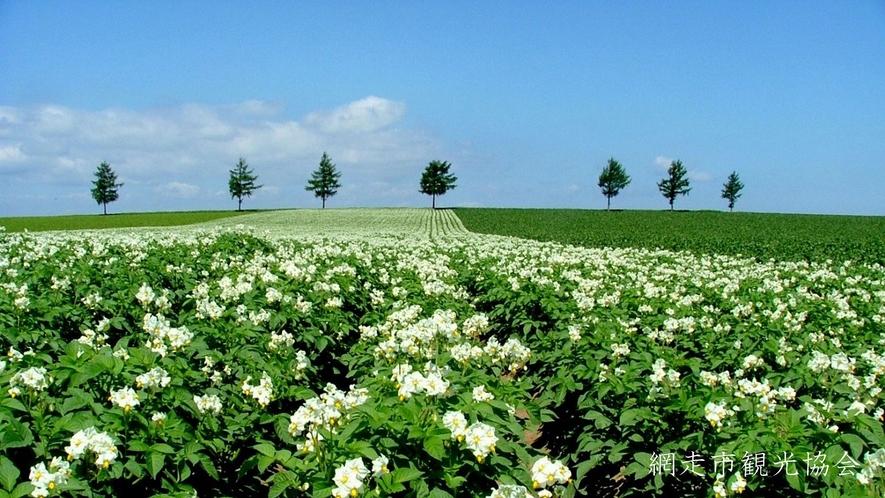 *[風景/夏]夏空に映える白くてかわいいじゃがいもの花(7月中旬頃)