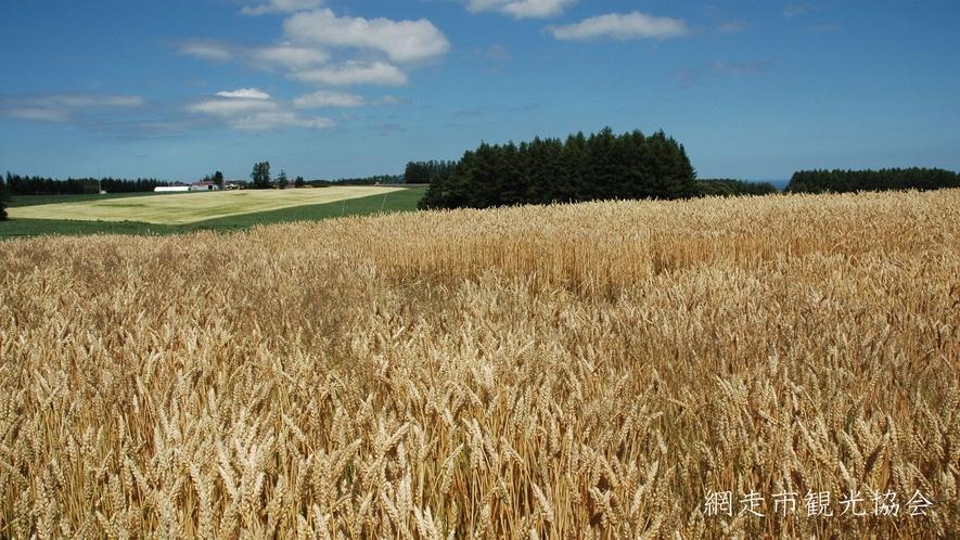 *[風景/夏]網走の小麦畑。綺麗に色づいた収穫前の小麦畑はまるで金色の絨毯(7月下旬頃)