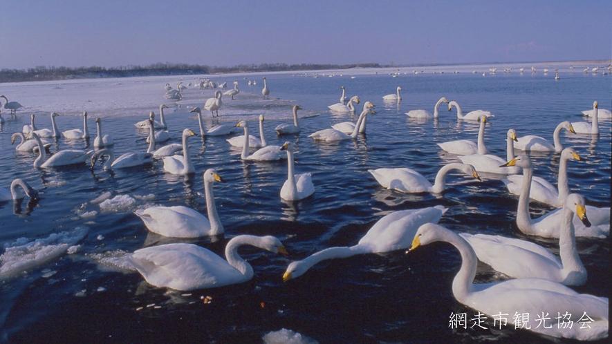 *[網走市北浜白鳥公園]当館より車で約25分。冬には白鳥をはじめ多くの野鳥が集まることで有名