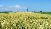 *[風景/夏]女満別の小麦畑。風になびく雄大な麦の穂(7月上旬頃)