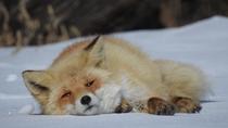 宿の裏庭で寝ているキタキツネ