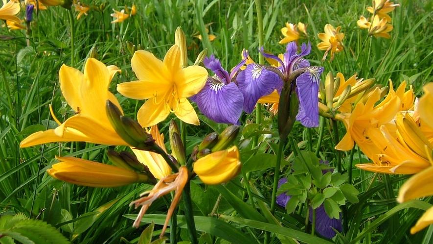 霧多布湿原は「花の湿原」と呼ばれ、咲き乱れる花々は綺麗です!