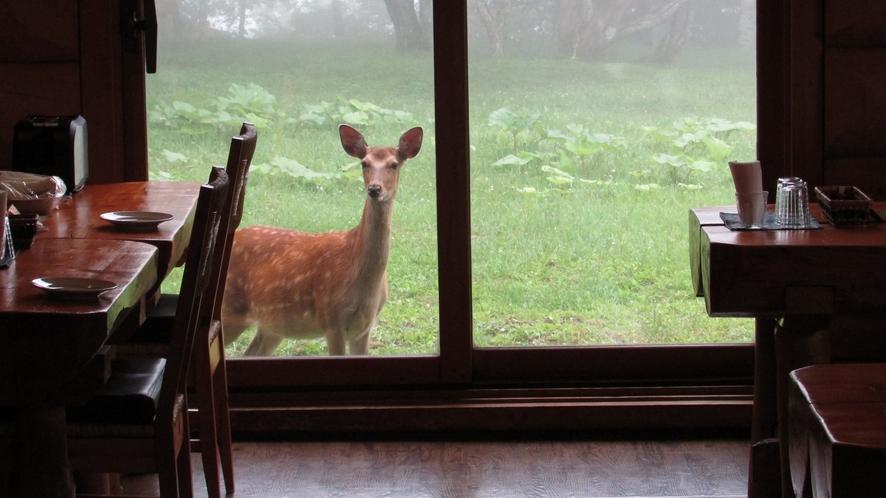 宿の裏庭にはエゾシカが遊びに来て、お客様を和ませてくれています!