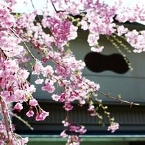 豊月のしだれ桜