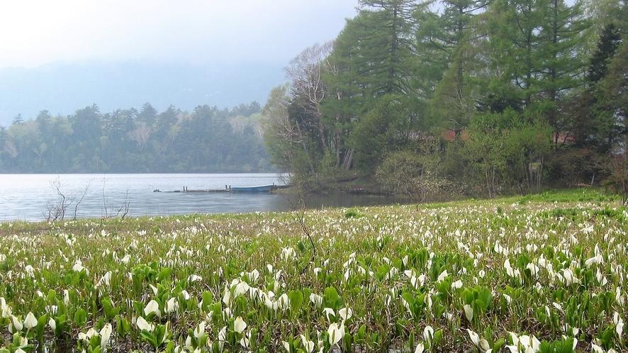 原始的で神秘的な景観が広がる春の尾瀬沼のほとりと水芭蕉