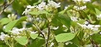 春の原生林を美しく彩るオオカメノキ・純白の花々からは、かけがえのない大自然の美しさが感じられます