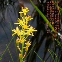 ニッコウキスゲも終わる頃、夏の尾瀬の湿原を可憐に彩るキンコウカ