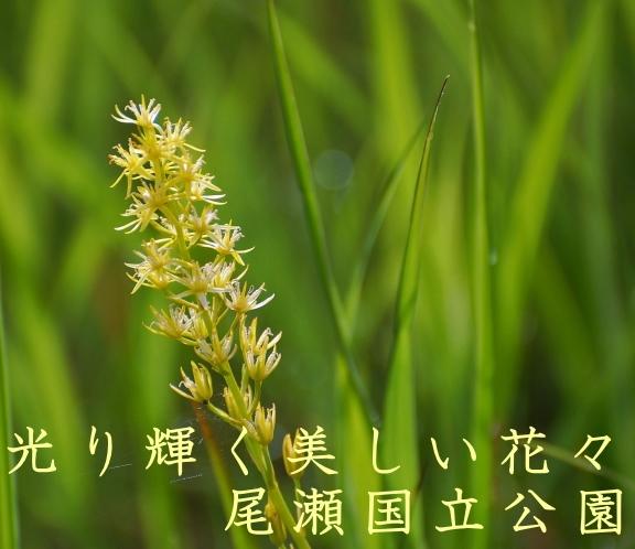 光り輝く可憐で美しい花々・尾瀬国立公園