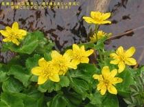 春の尾瀬沼の名花・リュウキンカ6月頃木道脇の綺麗な水辺にて心洗われる美しさを見ることができます