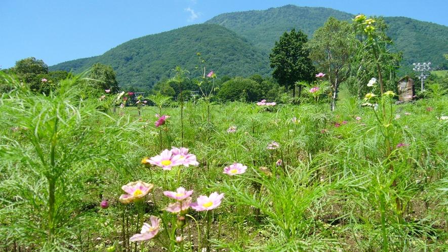 *黒姫高原/季節の楽しみ♪かわいらしいコスモスに癒されます。