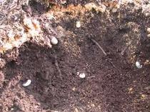 カブトムシの幼虫。木の枝をチッパーで砕いて1年寝かせると、カブトムシが卵を産む。