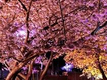 河津桜 夜桜 ライトアップ