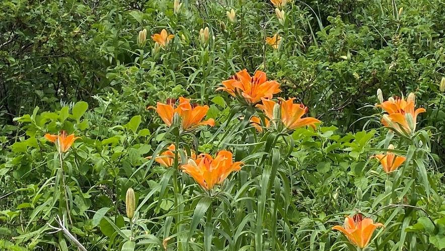 原生花園のエゾスカシユリ