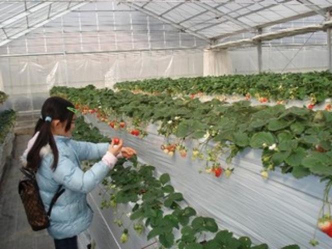 「田村農園さん」の苺狩り