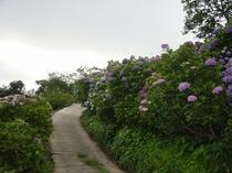 花房の紫陽花(見頃7月)