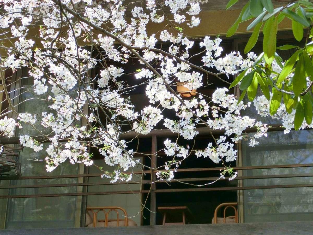 竹生庵の一室の窓辺から触れるほど間近に迫る満開の桜