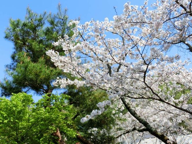 庭の桜と松